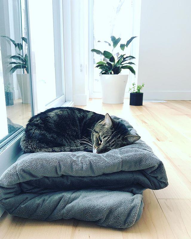 Certains ont des chiens à leur bureau, nous c'est une chatte nommée Lucy. Elle adore le plancher chauffant. #chattedeluxe #officelife #cat #catofinstagram