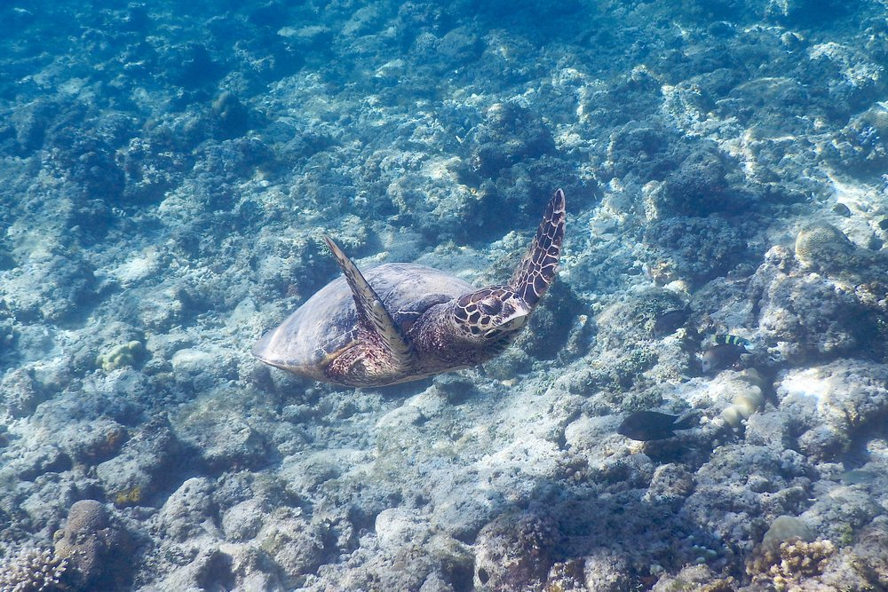 Green sea turtle, Gili Air, Lombok, Indonesia