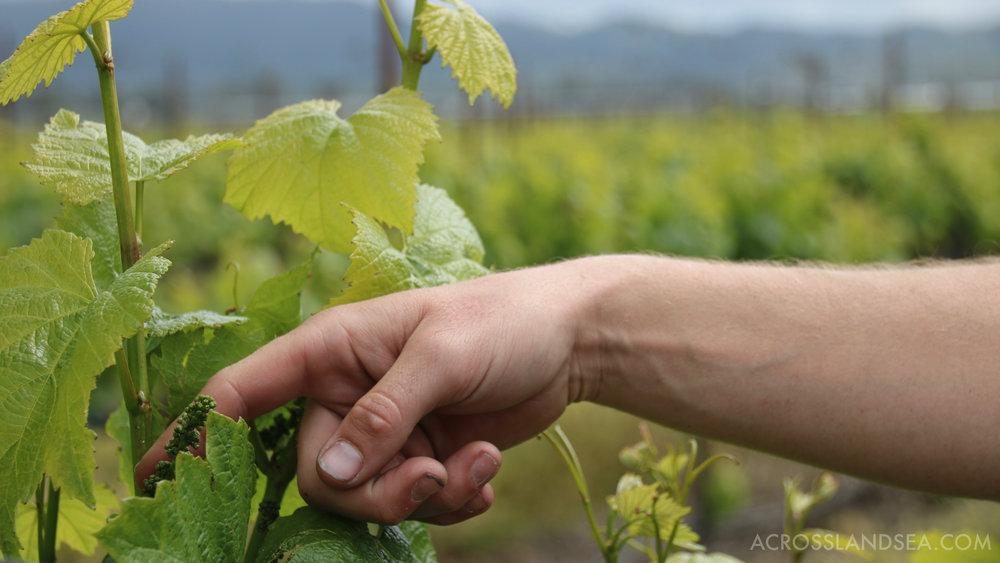 Vines at Larson Family