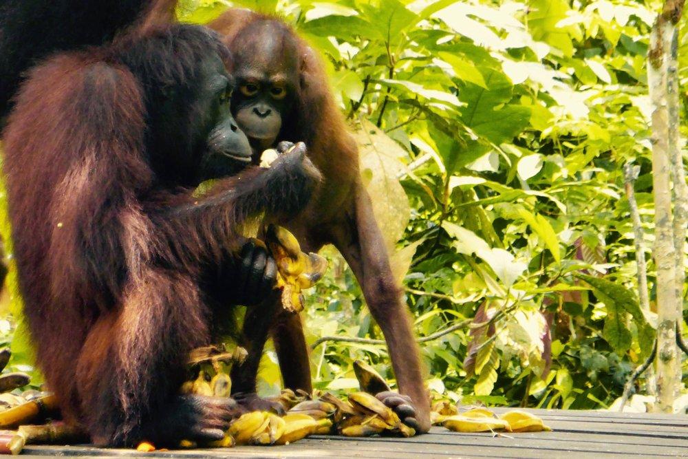 OrangutanBreakfast