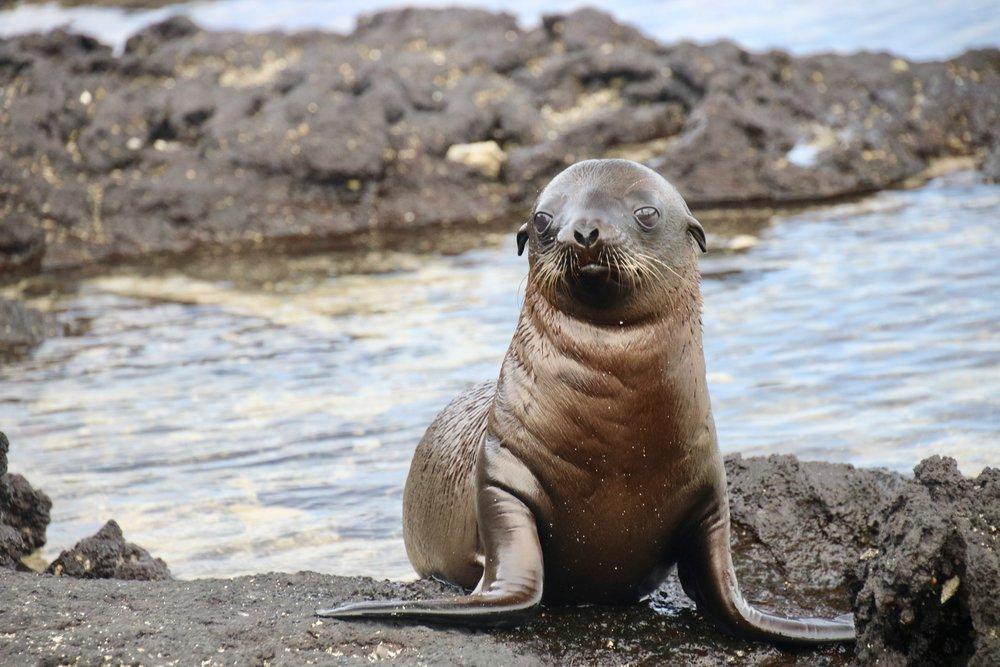 A baby Galápagos sea lion;Fernandina Island