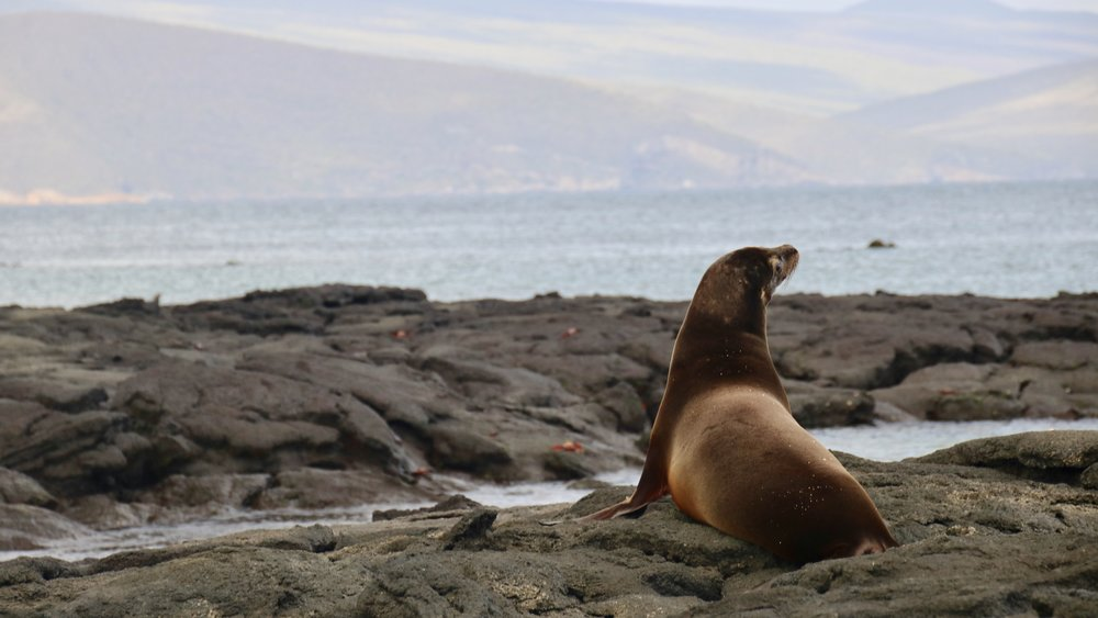 Galapagos Sea lion, @acrosslandsea