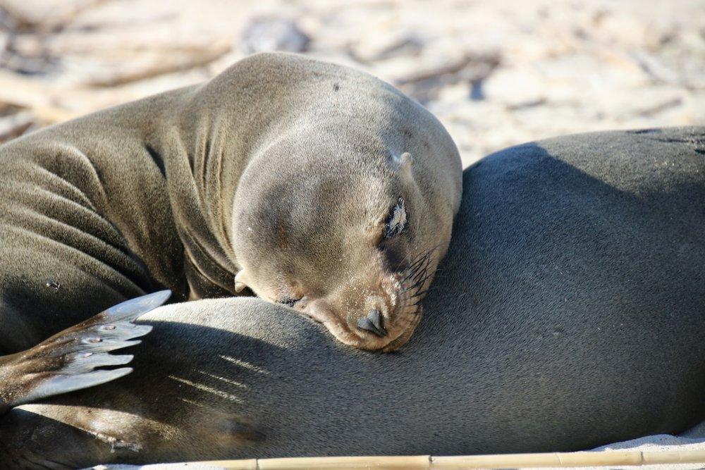 Galapagos sea lion, Ecuador, @acrosslandsea