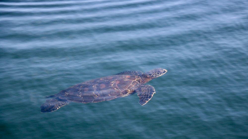 Green sea turtle; Moreno Point, Isabela Island