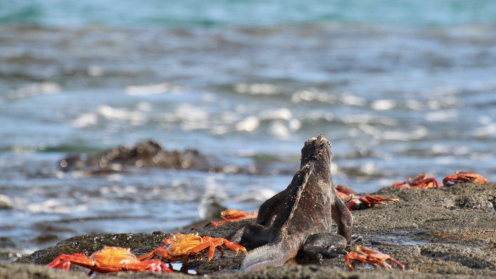 Sally Lightfoot crabs and a marine iguana,Santiago Island