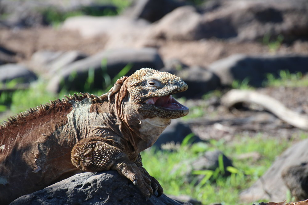 Land iguana, Galapagoas. 15 things to know before travelling