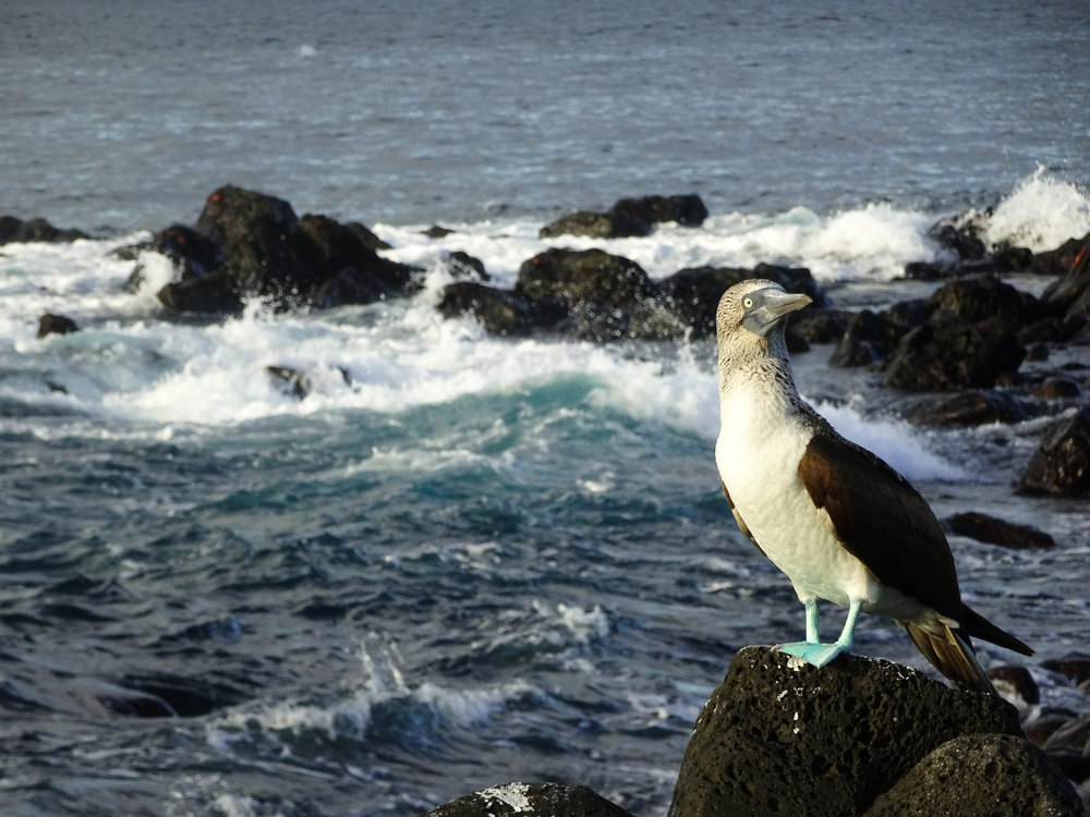Blue-footed booby, Galapagos Islands.
