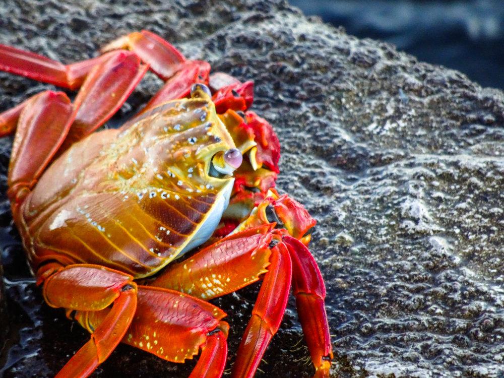 Sally Lightfoot Crab. Galapagos Islands
