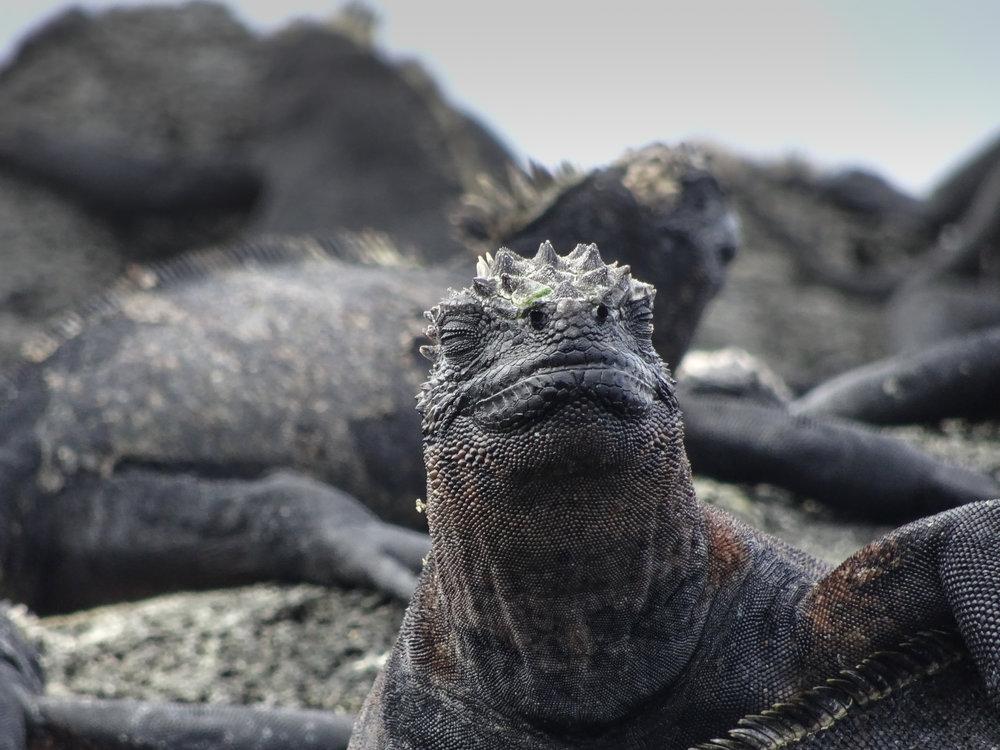 Marine iguana, Fernandina Island. Galapagos Islands, Ecuador. Across Land & Sea