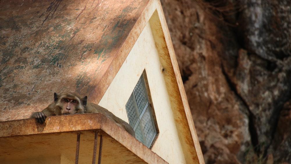 Monkey, Myanmar