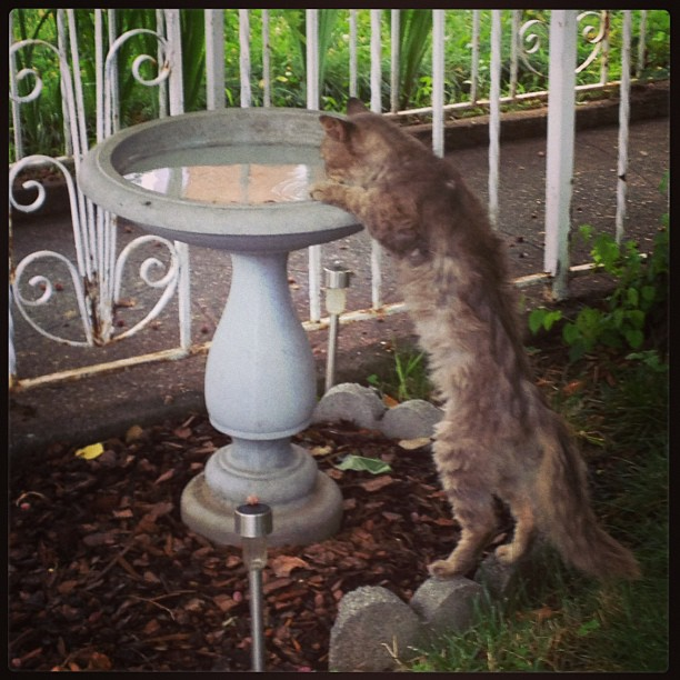 Even though I give my feral cat fresh water every day, he still prefers it infused with the essence of bird. Apparently a hint of bluejay makes all the difference.