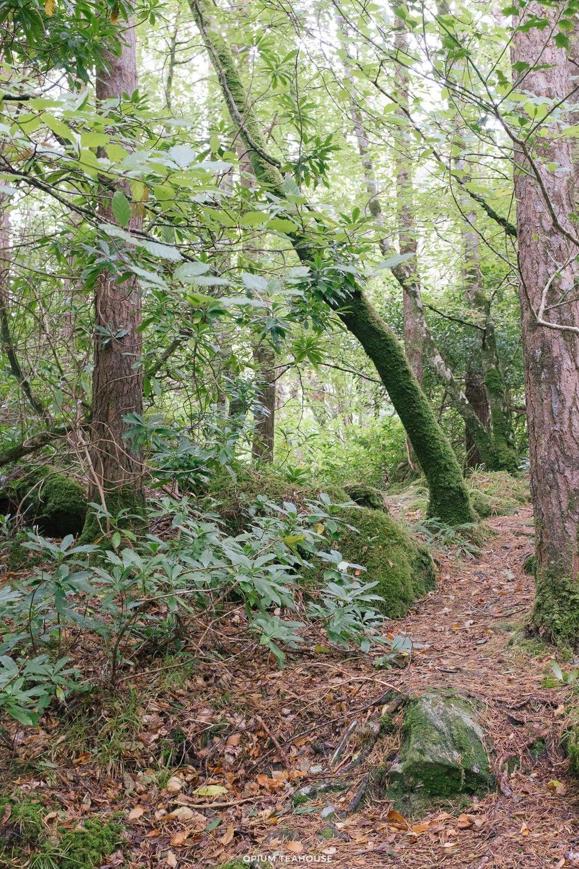 OTH_Ring of Beara Glengarriff Woods.jpg