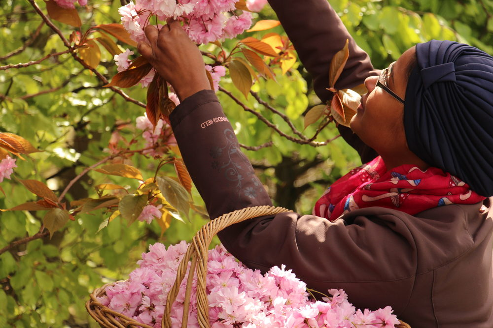 Picking-Cherry-Blossom.jpg