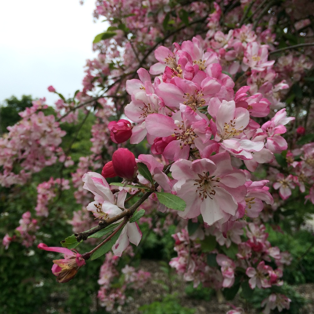 Ornamental Apple Blossom
