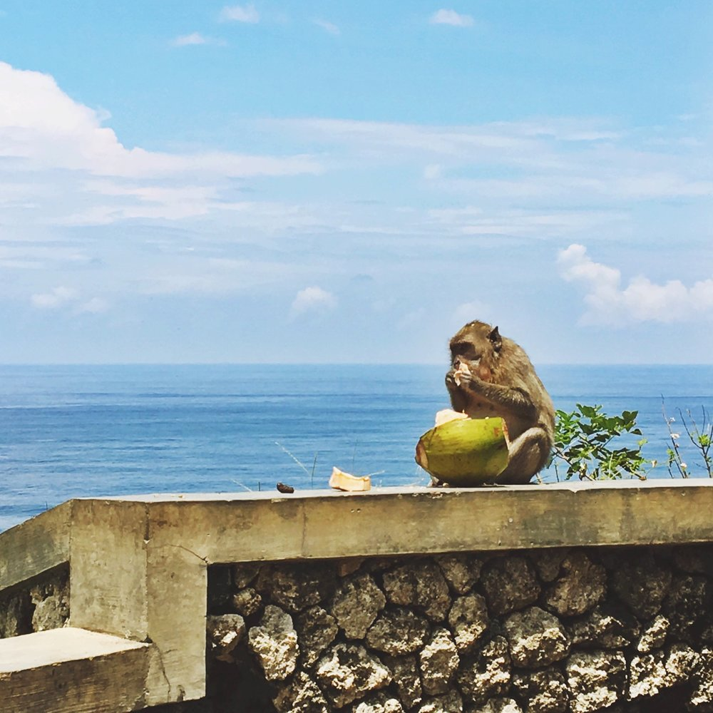 Monkeys love Coconut (& iPhones).