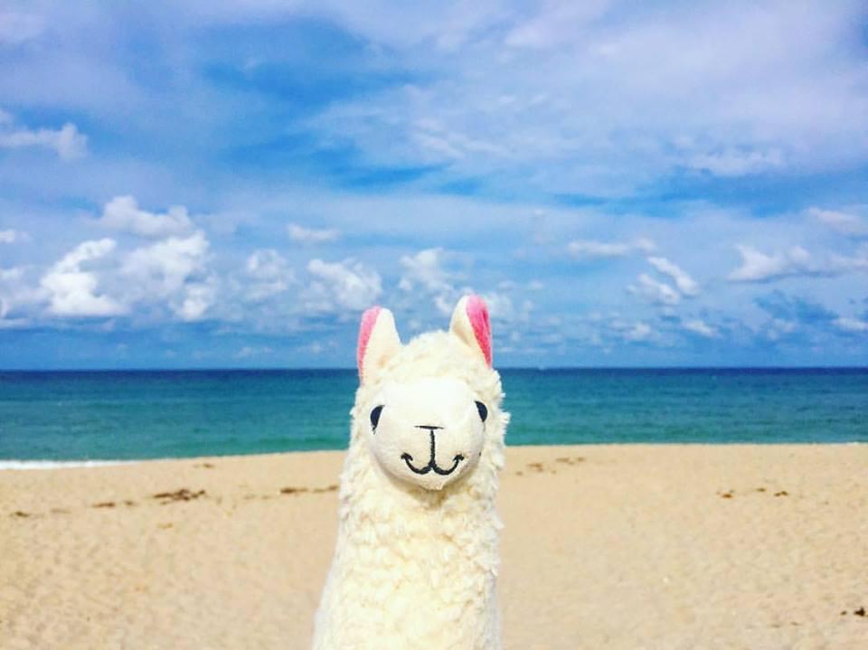 llamawithnodrama-palm beach.jpg