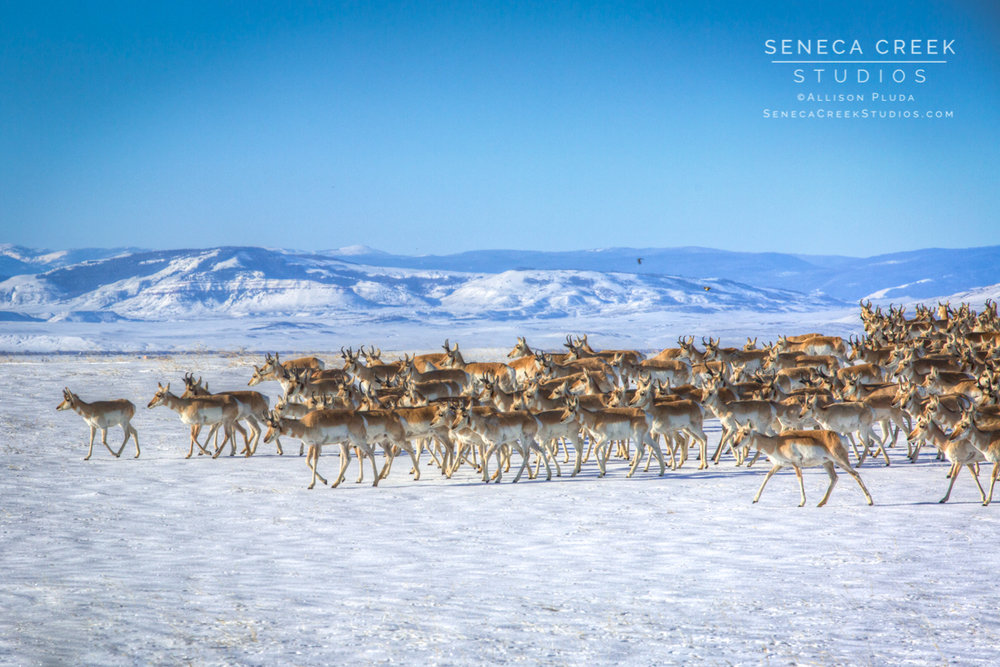 """Herd of Pronghorn Antelope, Laramie Valley, Wyoming,"" 16x24, Fine Art Photograph on Metal by Allison Pluda / Seneca Creek Studios"