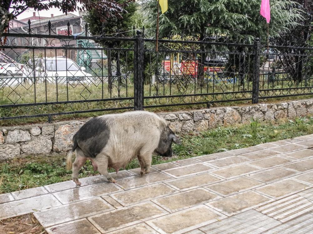 Dêqên - a free range pig