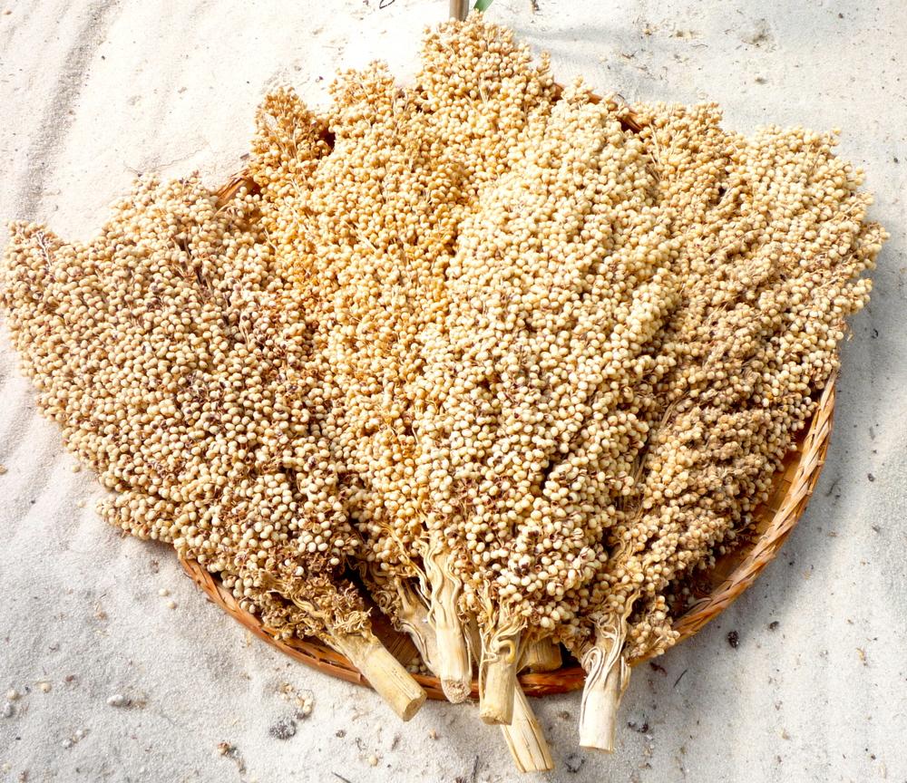 grain-sorgum-bicolor.jpg