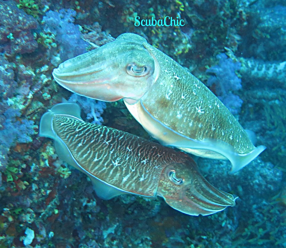 Two Cuttlefish