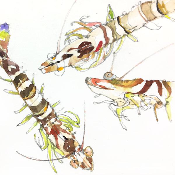 Shrimp_600px.jpg