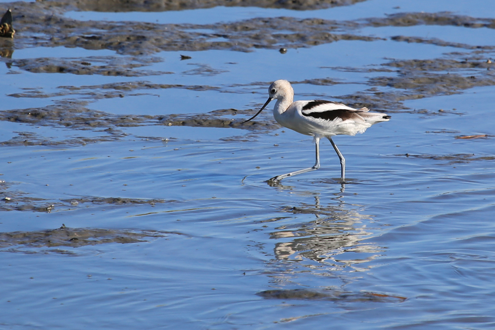 American Avocet, one of many Craney Island specialties, though this one was photographed at Pleasure House Point Natural Area in Virginia Beach in 2015.