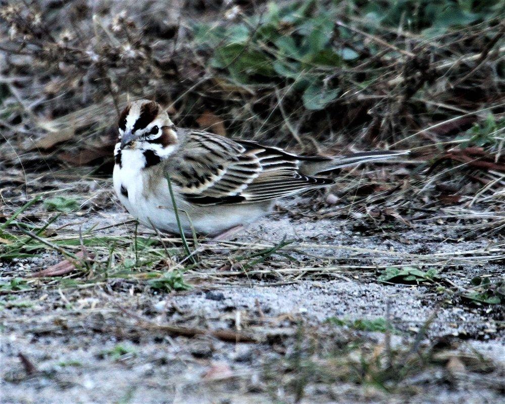 Lark Sparrow 4909.JPG