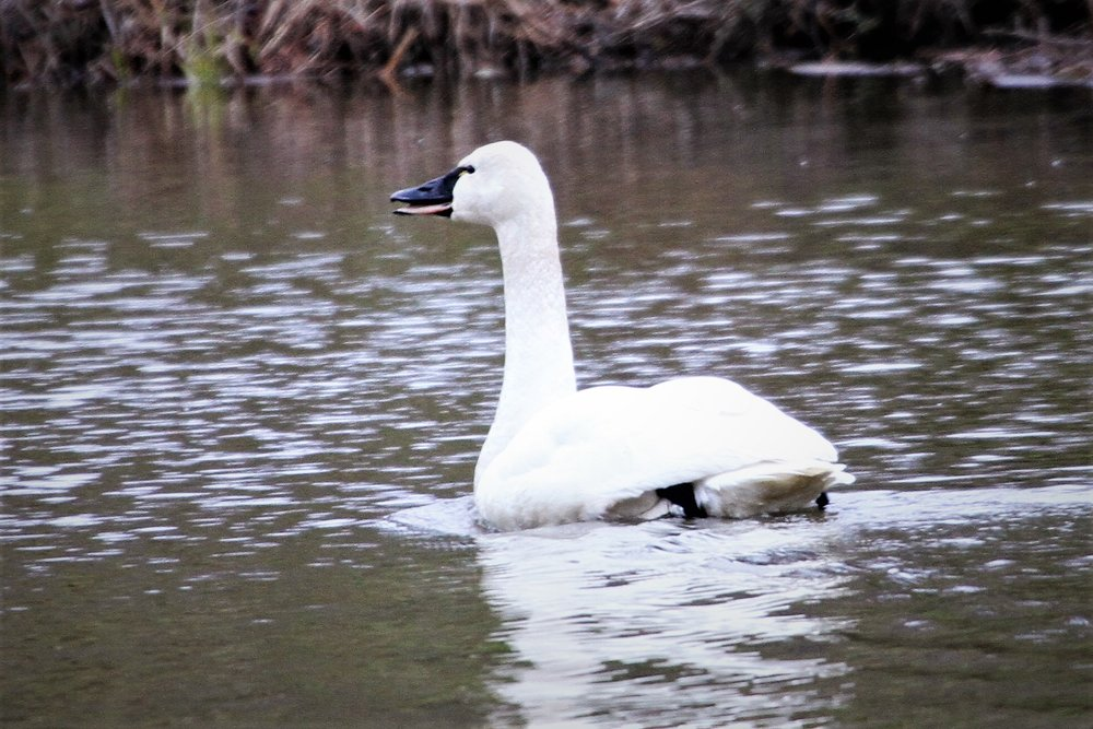 Tundra Swan 4723.JPG