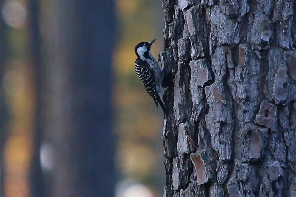Red-cockaded Woodpecker, photographed on the 2016 Field Trip by Lisa Rose!