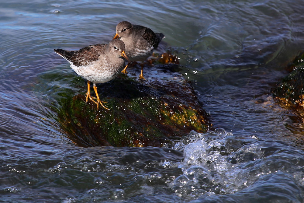 Purple Sandpiper, FebrUary 2014, Photo by rob bielawski