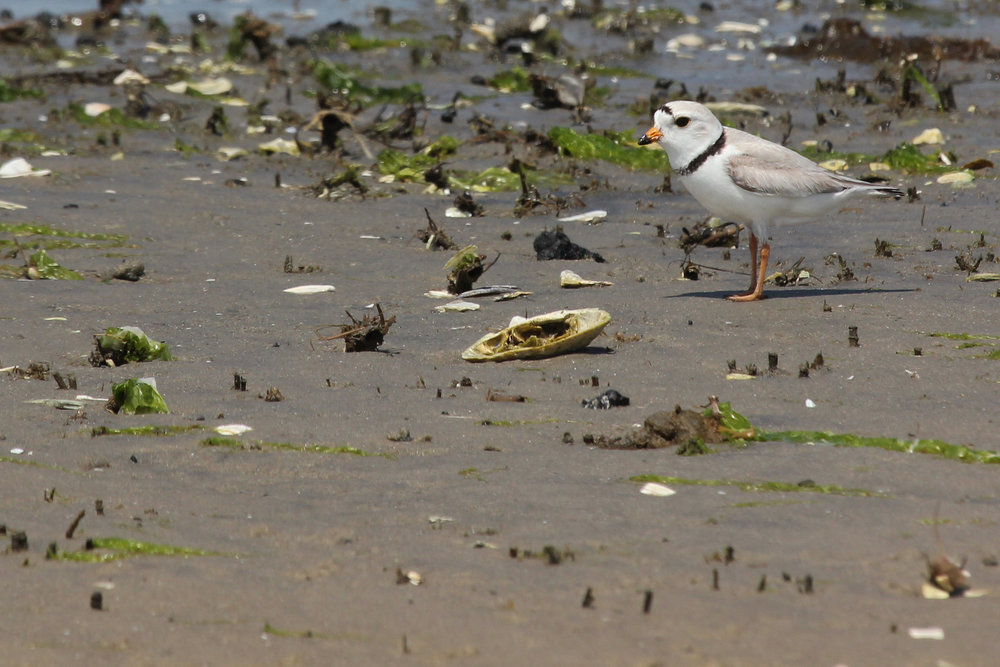 Piping Plover at Chincoteague NWR, Photo by Rob Bielawski