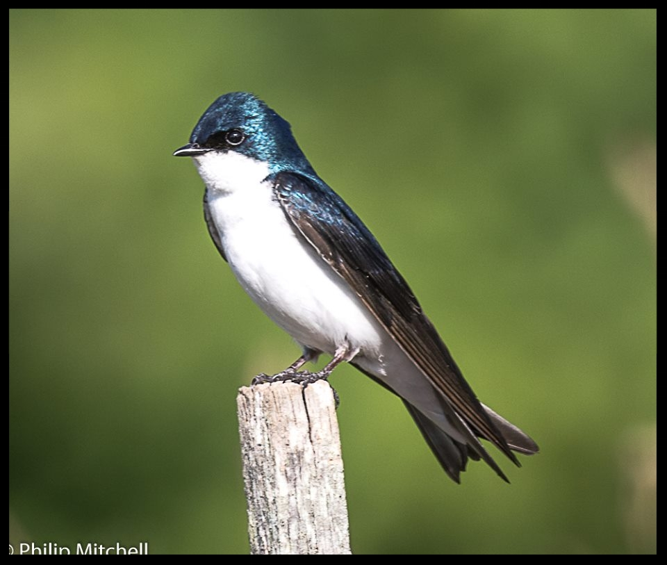 Tree Swallow Photo by philip mitchell