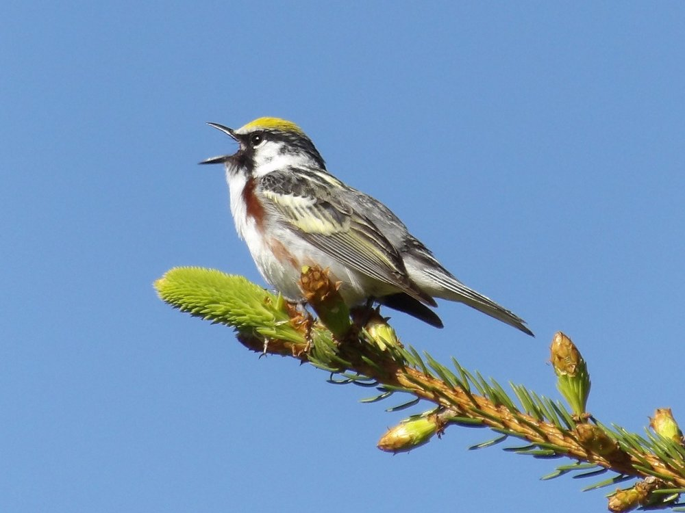 chestnut sided warbler cropped by Jerry Via.jpg