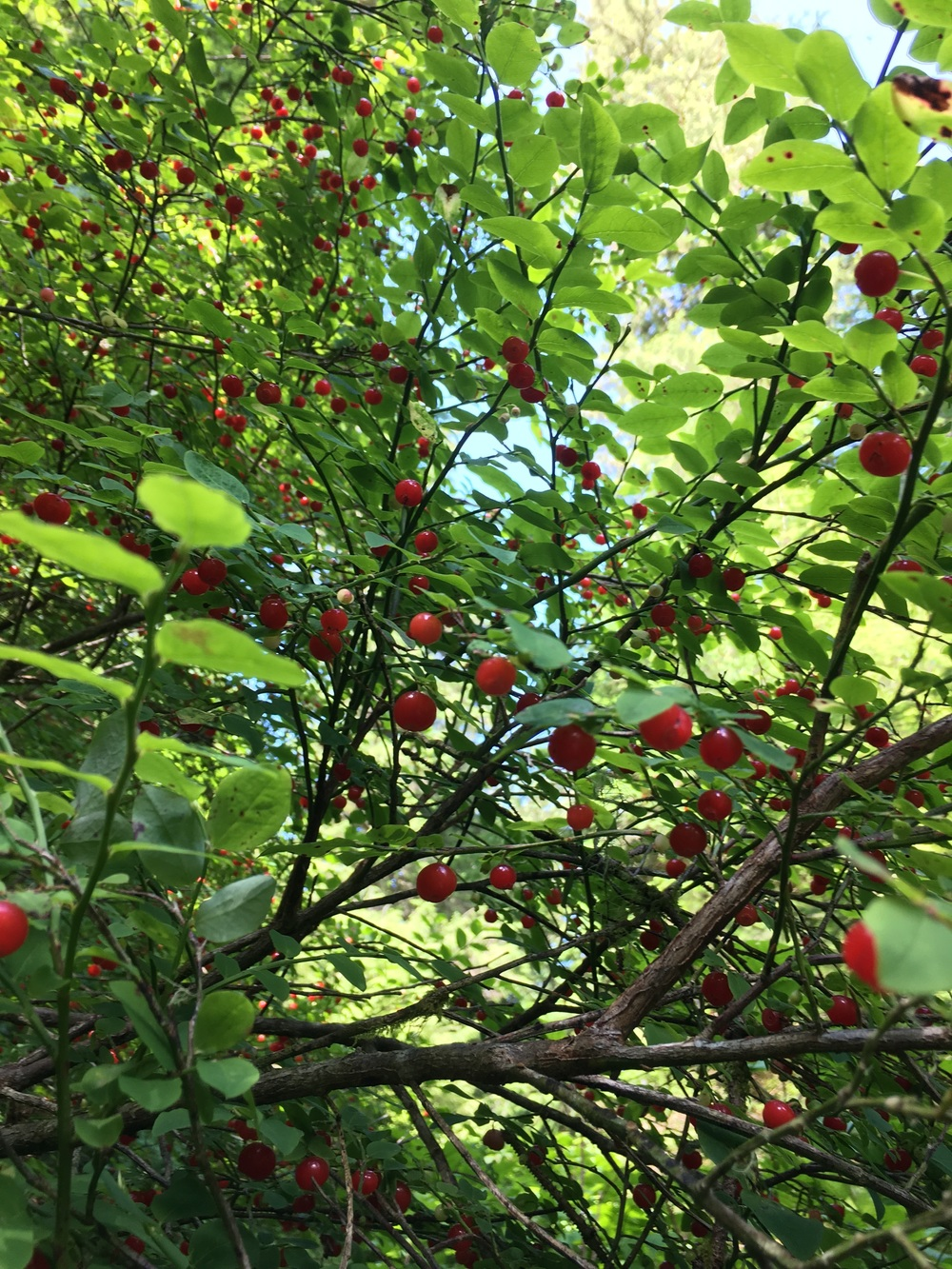 Red huckleberry.