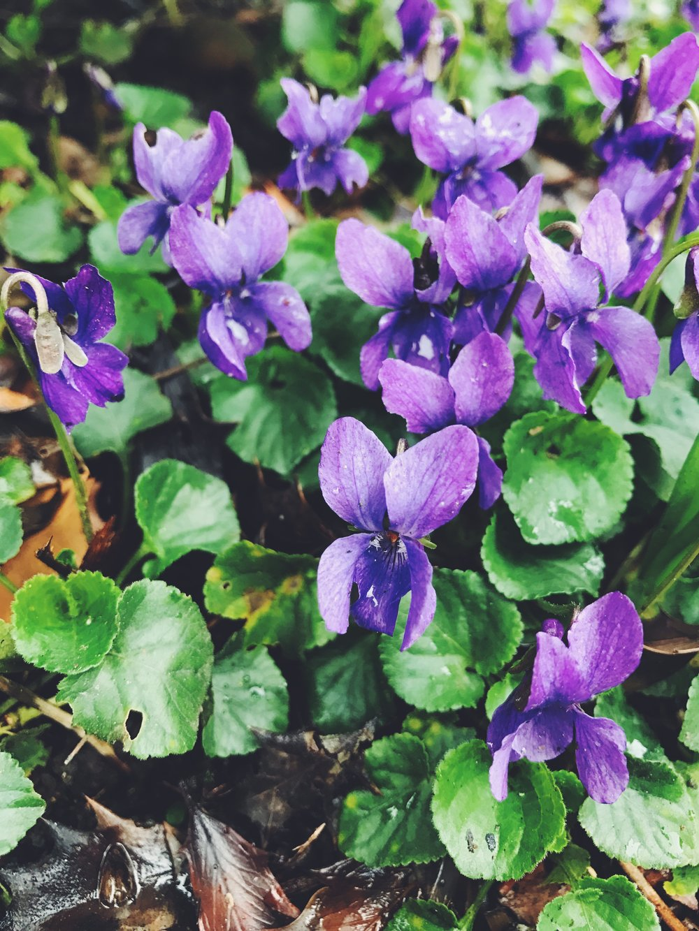 Sweet violets, little harbingers of spring.