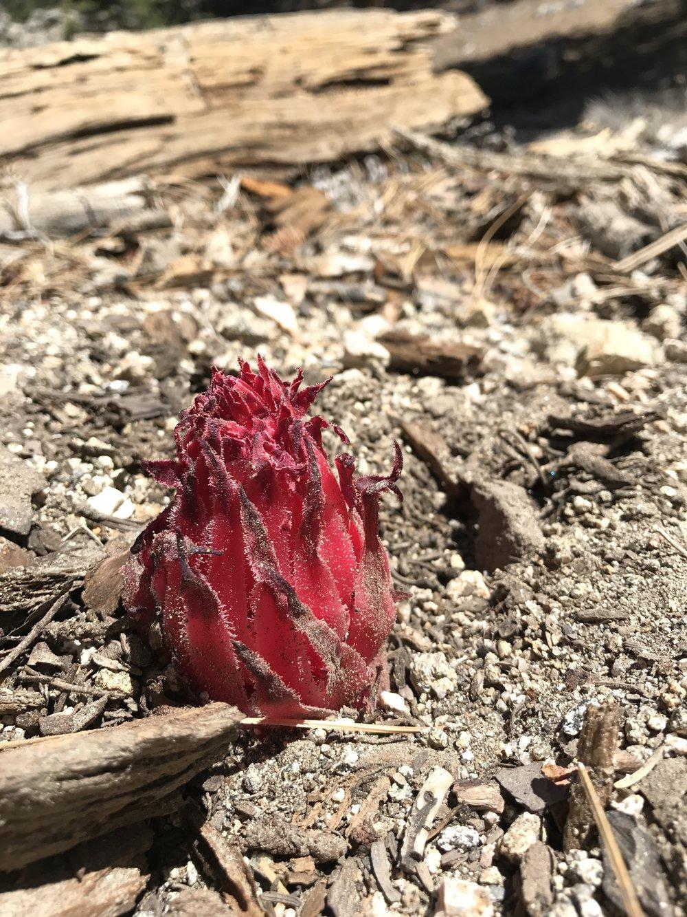 Snow plant,  Sarcodes sanguinea.