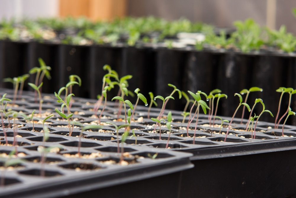 Tomato seedlings growing strong, just a week after sowing!