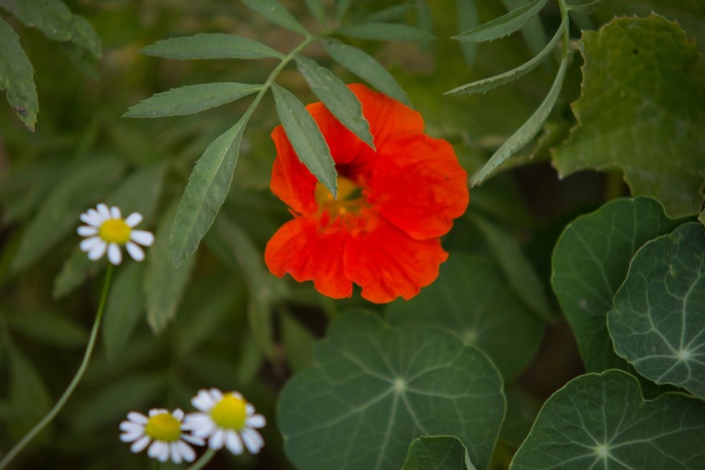 Nasturtium snuggled with the African Marigolds.