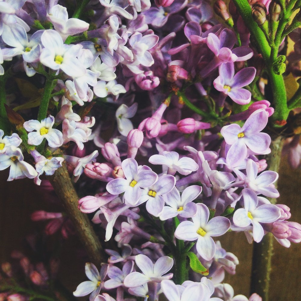 Some freshly harvested lilacs. Photo and lilacs compliments of Audrey Coley, farmer-florist of Honest To Goodness Farms
