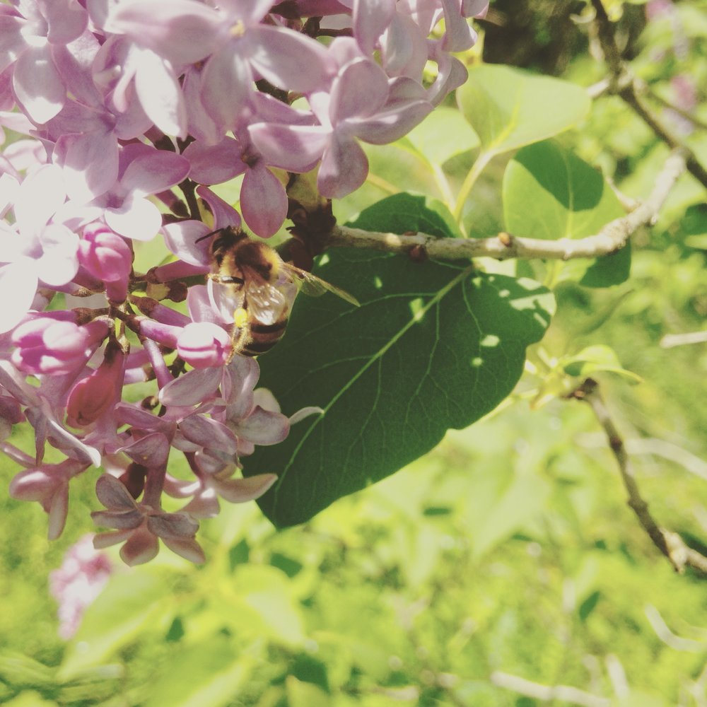 Lilacs are one of the first flowers to provide sustenance to our declining bee populations. Photo courtesy of Audrey Coley, farmer-florist of Honest To Goodness Farms