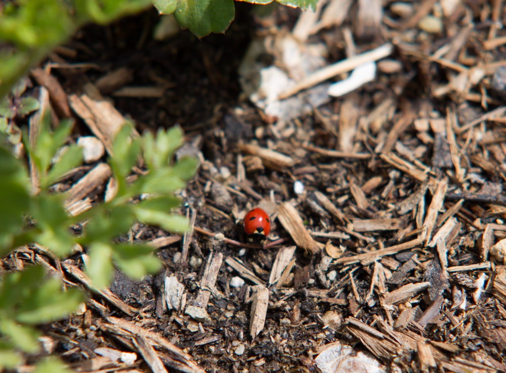 Our little garden attracts some undesirable pests, the good news is their predators follow them!  This ladybug is not only adorable but is an aphid vacuum!