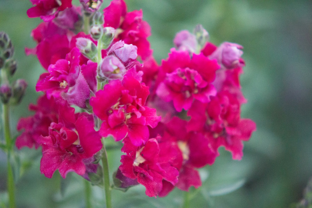 This unusual snapdragon is madame butterfly, one my favorites and is popular with the bees!