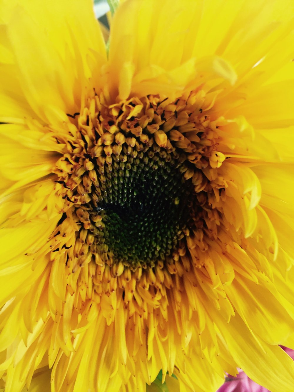 sunflower close up 2017.jpg