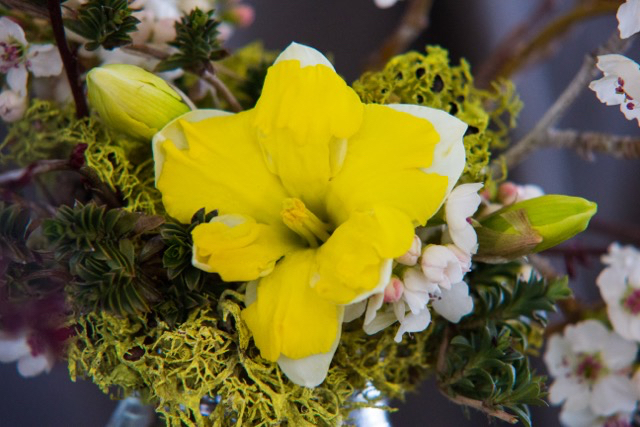 A cheerful narcissus nestled in with sweet apple blossoms, reindeer moss and sprigs of savory marjoram.