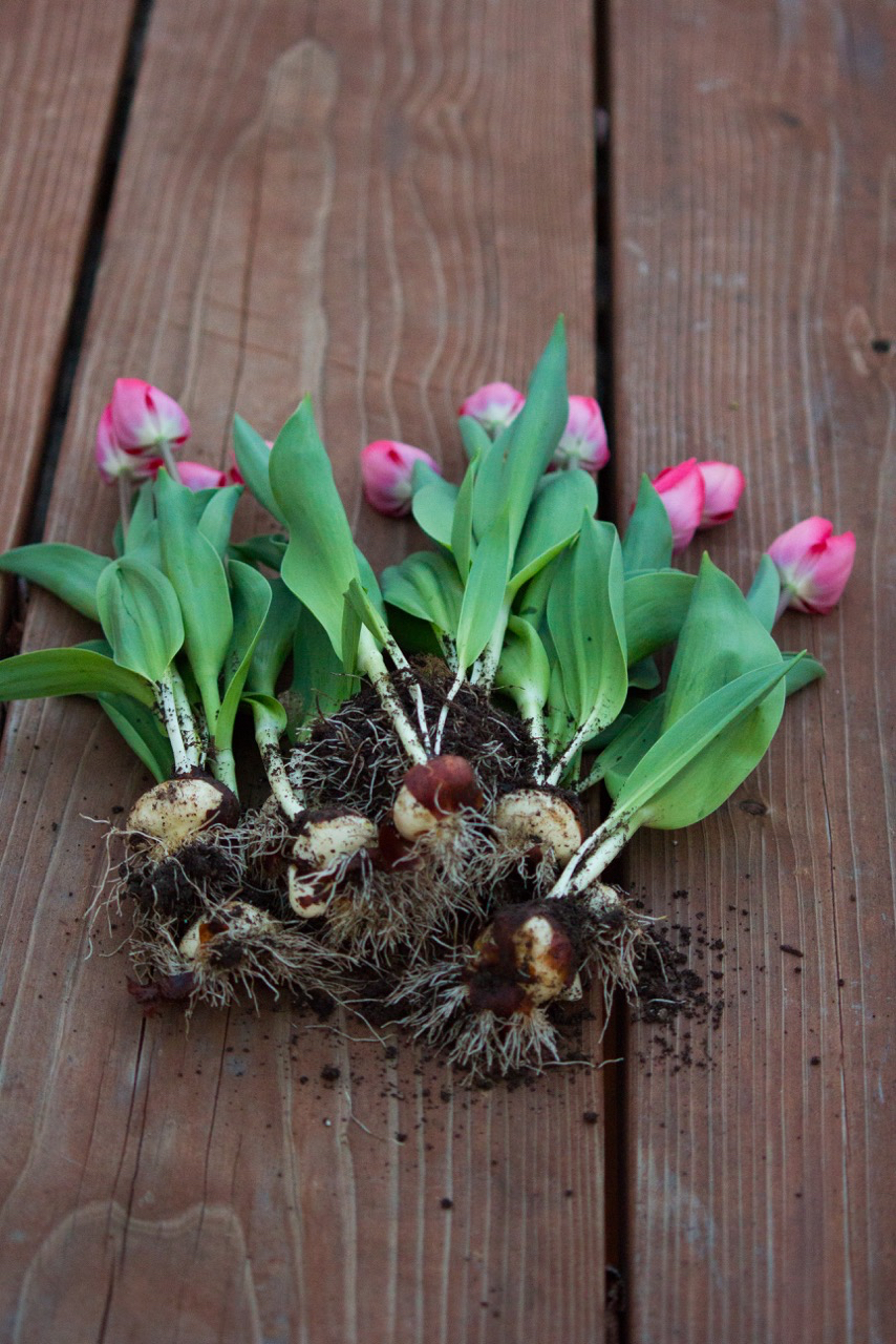 2harvestedtulips17.jpg