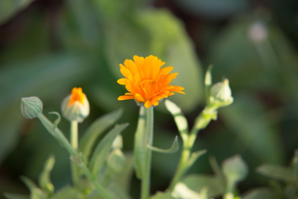 This is a different variety of calendula, Pink Surprise Calendula is a fluffy double variety that is more of an apricot than orange or pink in color.