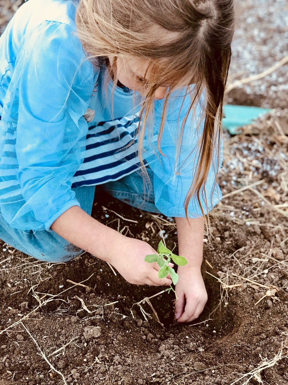Janey getting the last of her planting in at the old property, a volunteer sweet pea she decided needed to be replanted. Don't worry Janey, soon enough there will be hundreds of sweet peas to plant!
