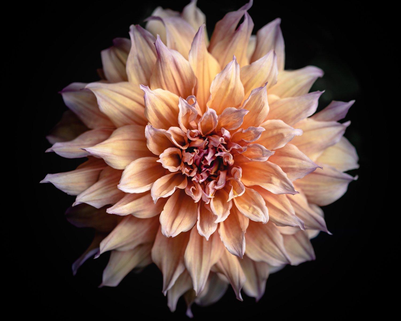 Flower Of The Month Dahlias Sierra Flower Farm