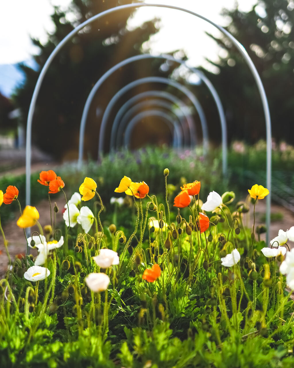 Flower Of The Month Iceland Poppies Sierra Flower Farm