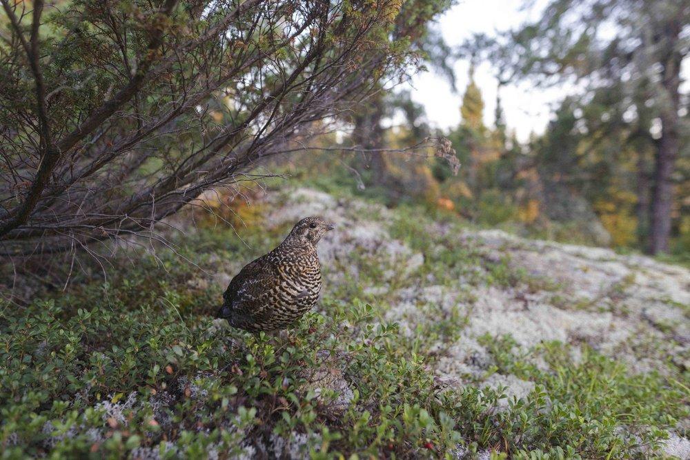 Prairie Chicken in Nopiming. Photo by Adam Kelly.